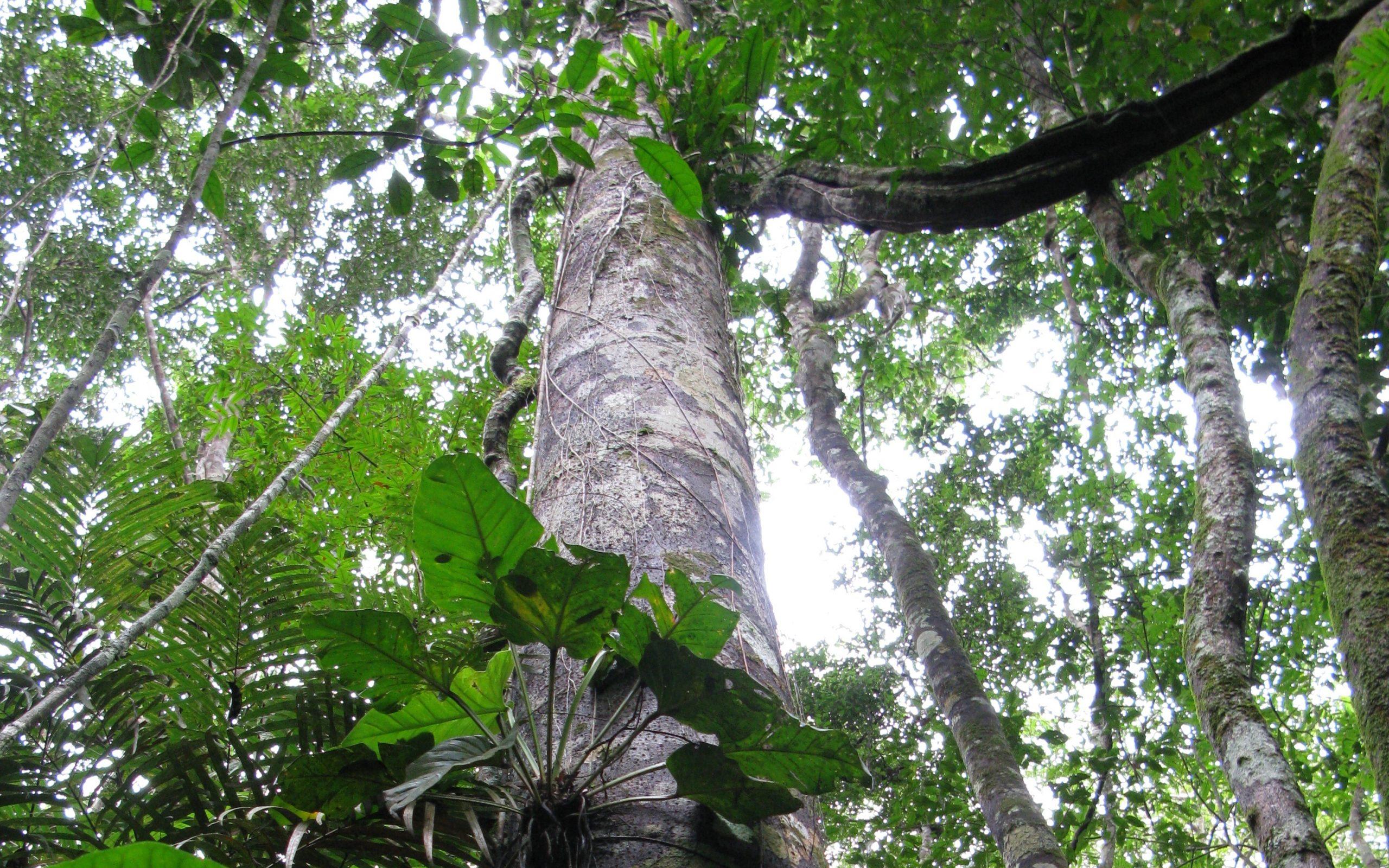 Angelim pedra-stam in tropisch bos. Foto: Innovita advies & projectbegeleiding